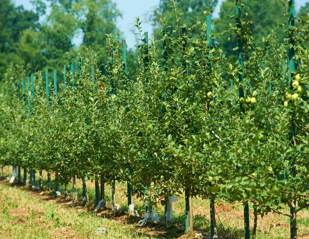 Apple Orchard Stakes
